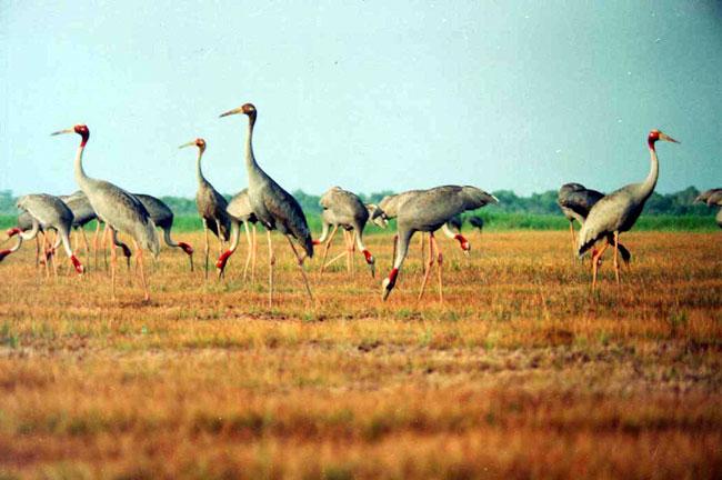 Rare bird at risk as farms encroach