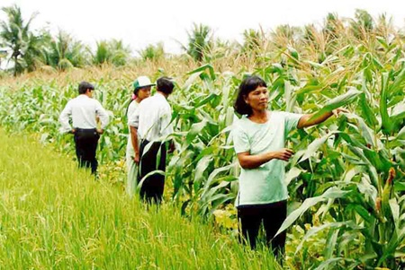 Local farmers show scientists their corn field in the Mekong Delta's Long An Province. Positive results have been recorded in the initial phase of a pilot project to cultivate corn on large-scale farms in the province.