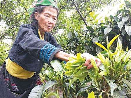Picking time: A Mong ethnic woman in Son La Province's Ta Sua Commune picks young buds from hundred-year-old shan tuyet tea trees. The rare variety is grown in Yen Bai, Son La, Ha Giang, Cao Bang, Dien Bien and Hoa Binh provinces.