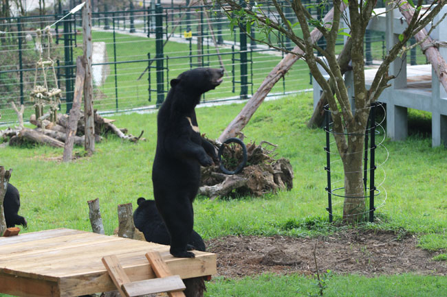 Rescue centre saving bears from bile industry expands