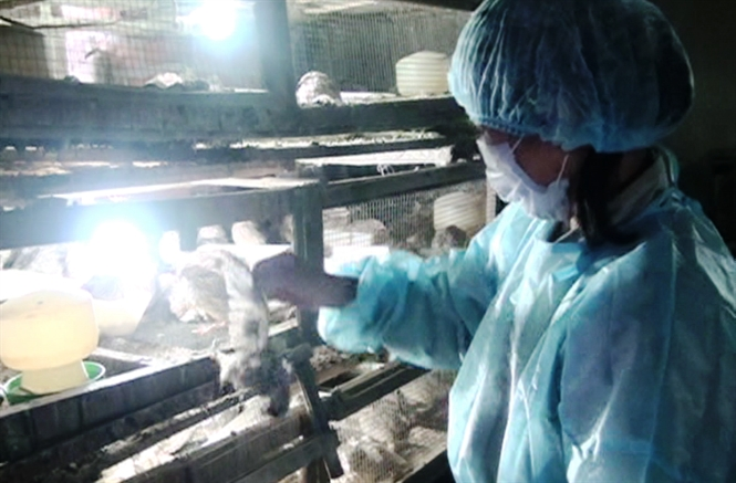 Thousands of quails infected with avian flu