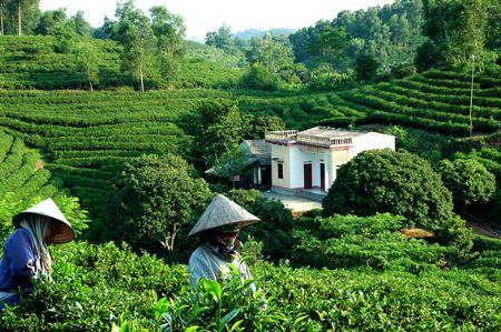 Vietnamese tea exports to reach 245m in 2014