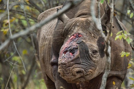 A record 1,004 rhinos were killed for their horns in South Africa in 2013.