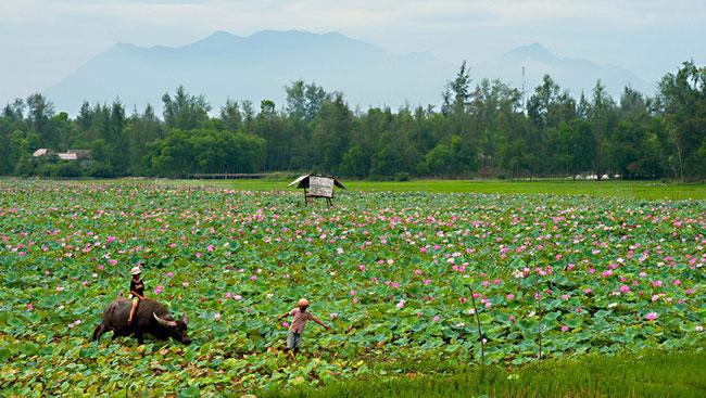 Traditional Lotus Flowers Bring Joy To Mekong Farmers Tourists