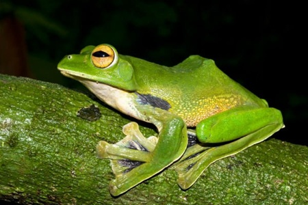 In Viet Nam, scientists recently discovered Helens Flying Frog, (Rhacophorus helenae), a huge, green,