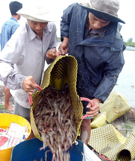 Farmers harvest white-legged shrimp in the Mekong Delta. Local farmers were advised not to breed white-legged shrimp in fresh water areas because wastewater from breeding could pollute water sources.