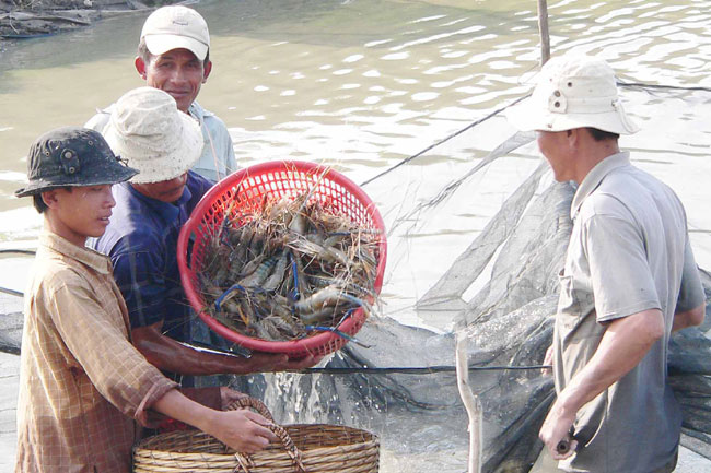 Farmers reap high profits from prawn breeding scheme