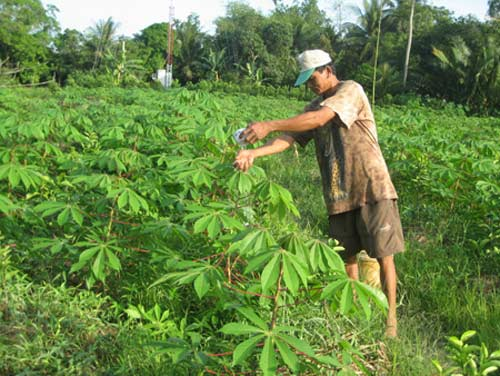Recovering cassava industry faces development obstacles