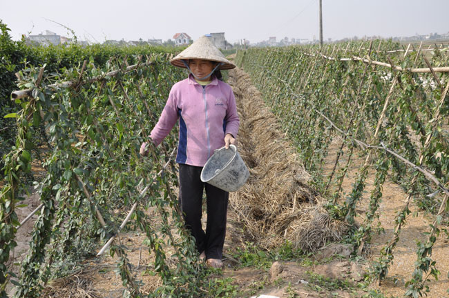 VN farmers benefit from medicinal plant crops