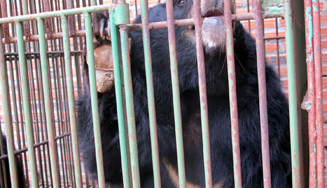 Bear deaths in Ha Long spur urgent calls for govt action