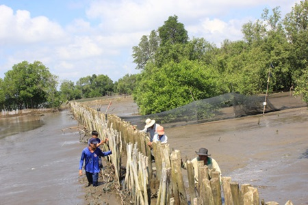 Residents of Vam Ray Commune erect a wooden fence to protect the mangrove forest in Kien Giang Province.