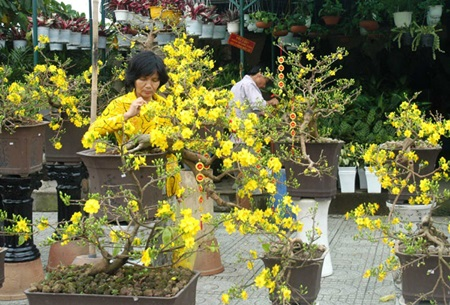 Ochna blossoms are on sale on Thanh Thai street in HCM City. Gardeners in the Mekong Delta region who cultivate unique fruits and flowers in preparation for the upcoming Tet (Lunar New Year) are suffering from low productivity due to unusual weather conditions.