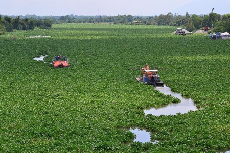 Water hyacinth chokes rivers