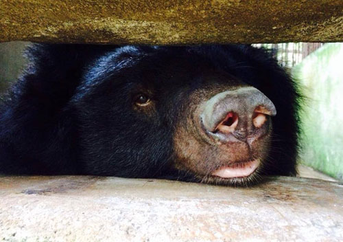 Three moon bears rescued by Animals Asia