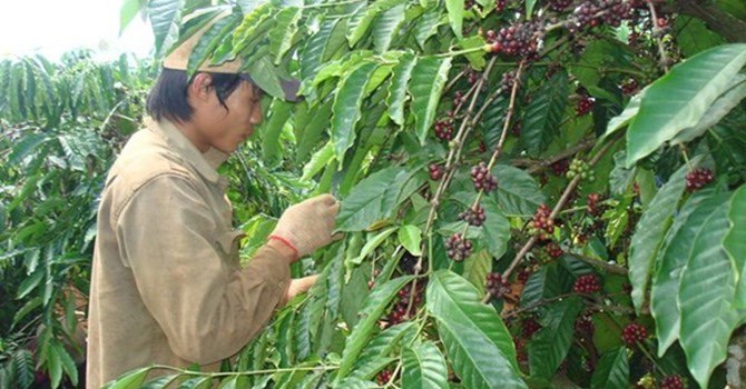 Viet Nam Indonesia to stabilise coffee output