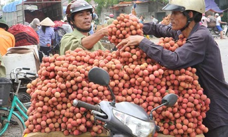 Lychees are ready to be delivered to markets in Thanh Ha District of Hai Duong Province. Despite visits by many overseas companies and organisations recently, the chance of exporting the fruit remains unclear.