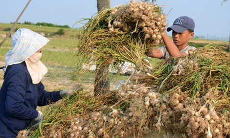 Farmers harvest garlic on Ly Son Island in the central province of Quang Ngai. Tariffs for Vietnamese garlic, ginger and honey exports to South Korea will be reduced to zero per cent over the next 10-15 years under the recently signed free trade agreement between the two countries.