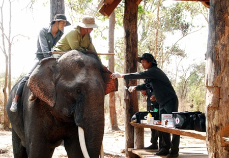 Staff at Dak Lak Elephant Conservation Centre give regular check-ups to elephants at the centre. More funding and efforts are needed to keep this animal from becoming extinct in Viet Nam.