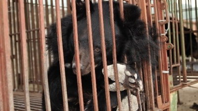 ENV summarises 10 years of fight against bear farming in Viet Nam