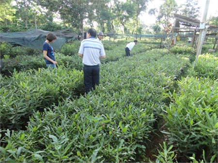 Early last year, the ministry approved 10 species of macadamia for cultivation in Viet Nam.