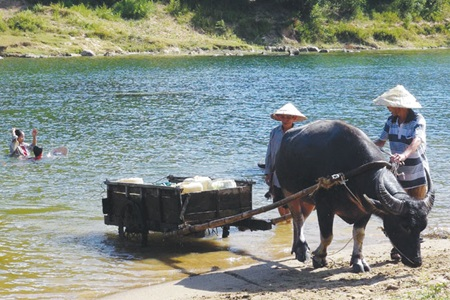 Farmers in Quang Binh Province hard-hit by the ongoing drought use a buffalo cart to carry water from a river.
