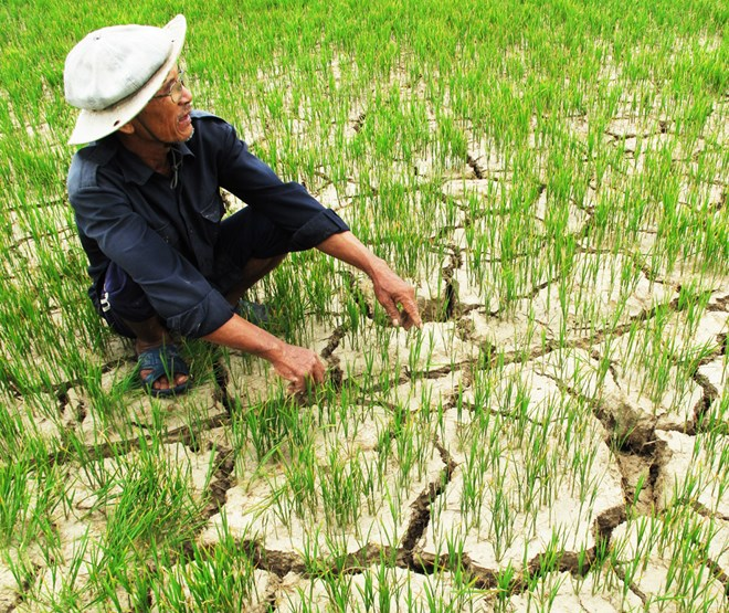 Phu Yen rice crop faces drought risk