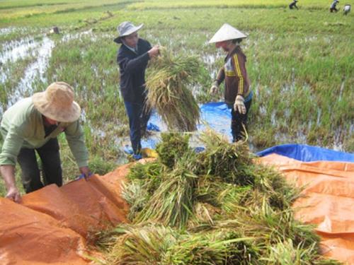 Mekong Delta rice fields hit by heavy rains