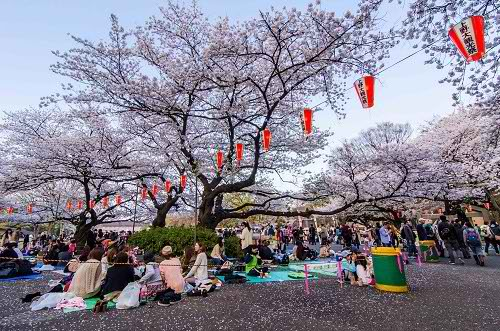 Japanese cherry blossom festival to open in Feb