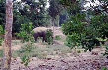 Hungry wild elephants trash crops property