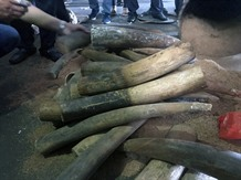 Việt Nams illegal ivory market is thriving