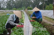 Hà Nộis organic vegetables find few consumers