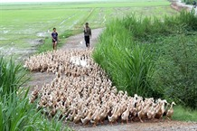 Ducks raised in the field a specialty of Việt Nam