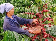 VN to build upscale coffee brand